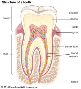 About Your Tooth | Doctor Greene Endodontics